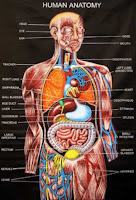 http://kulitmuputih.blogspot.com/2013/05/penjelasan-lengkap-anatomi-tubuh.html