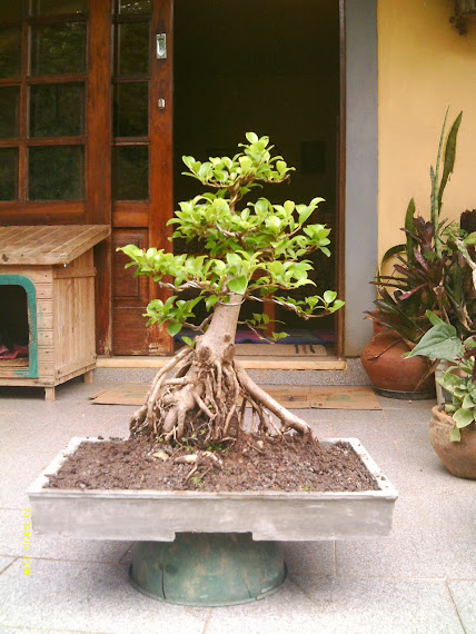 Ficus Microcarpa var. Indica... - Página 2 IMAG0044