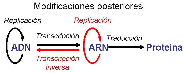 Dogma central de la biología molecular revisado