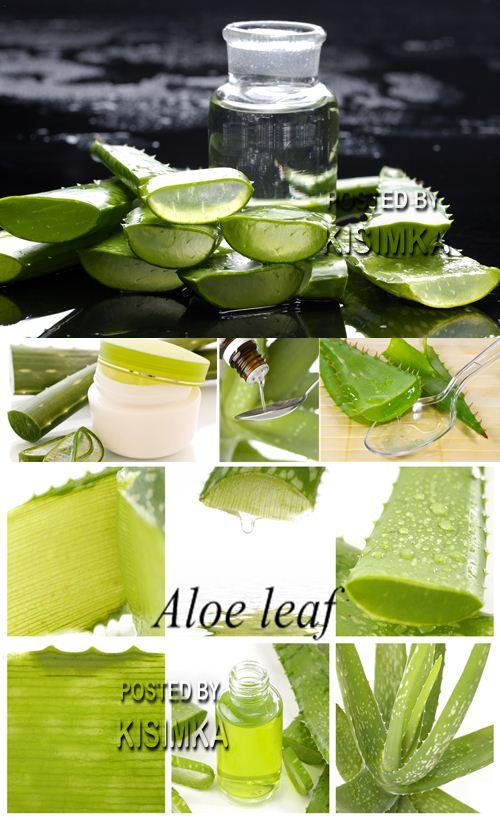 Stock Photo: Aloe leaf