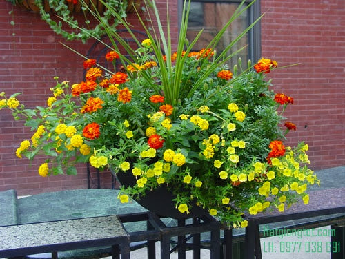 Hạt hoa cúc vạn thọ