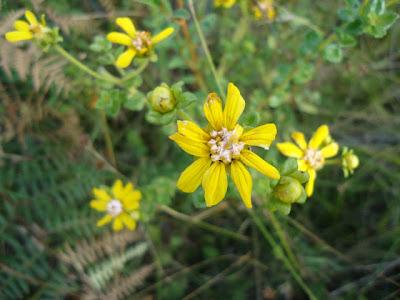 Calea phillolepis http://sites.google.com/site/florasbs/home  São Bento do Sul - Santa Catarina