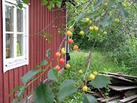 På baksidan finns körsbärsträd