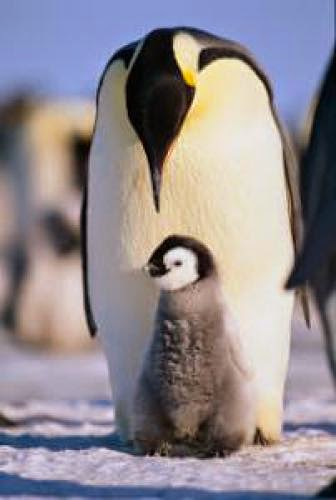 What American Fathers Need To Learn From Antarctica Penguins