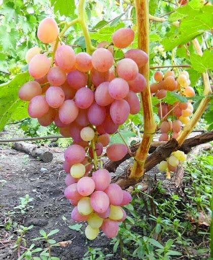 Мочёный виноград