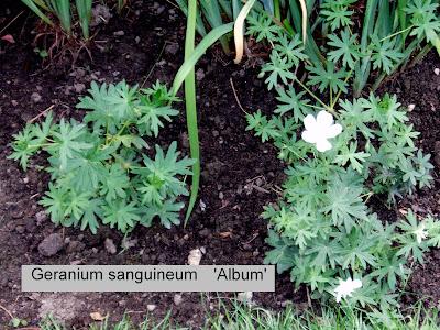 geranium sanguineum thesunkengarden. Black Bedroom Furniture Sets. Home Design Ideas