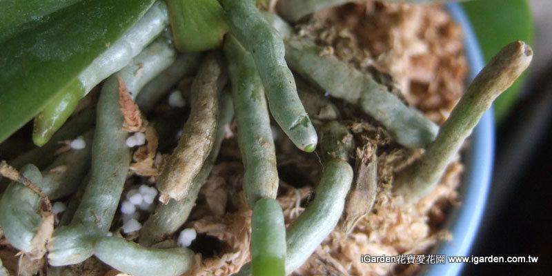 銀色或綠色是健康的根 | iGarden花寶愛花園