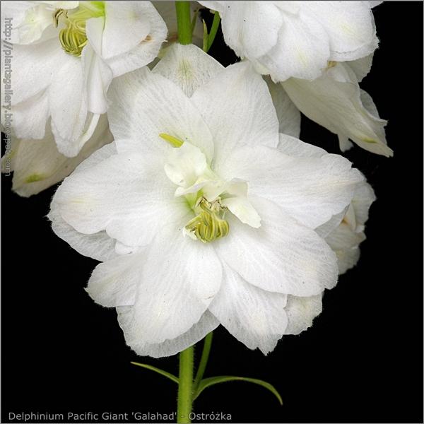 Delphinium Pacific Giant 'Galahad' flower - Ostróżka kwiat