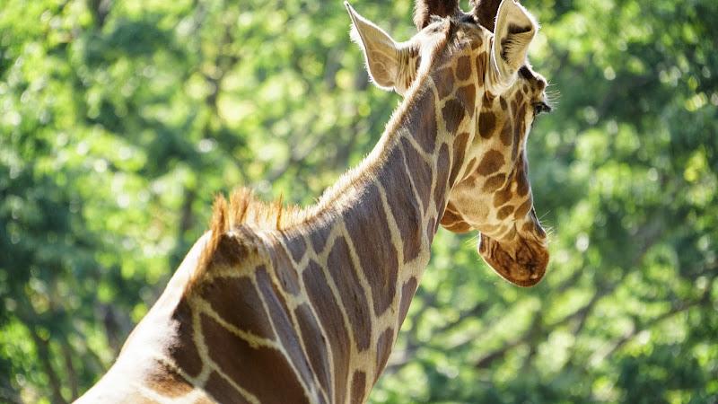 多摩動物公園 キリン 写真1