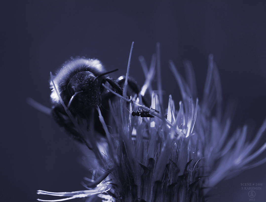 шмель, bumblebee, bourdon, hummel, bombo, bombus photo, macrophoto, S. Karengin, фото, макросъемка,