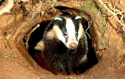 Badger%2520for%2520badgers.JPG