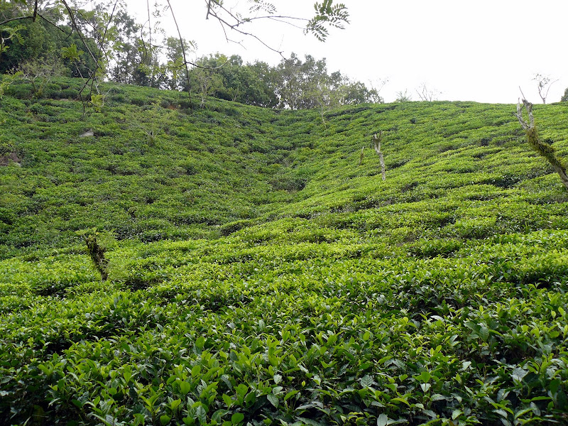 Fabbrica del thè (Mahè)