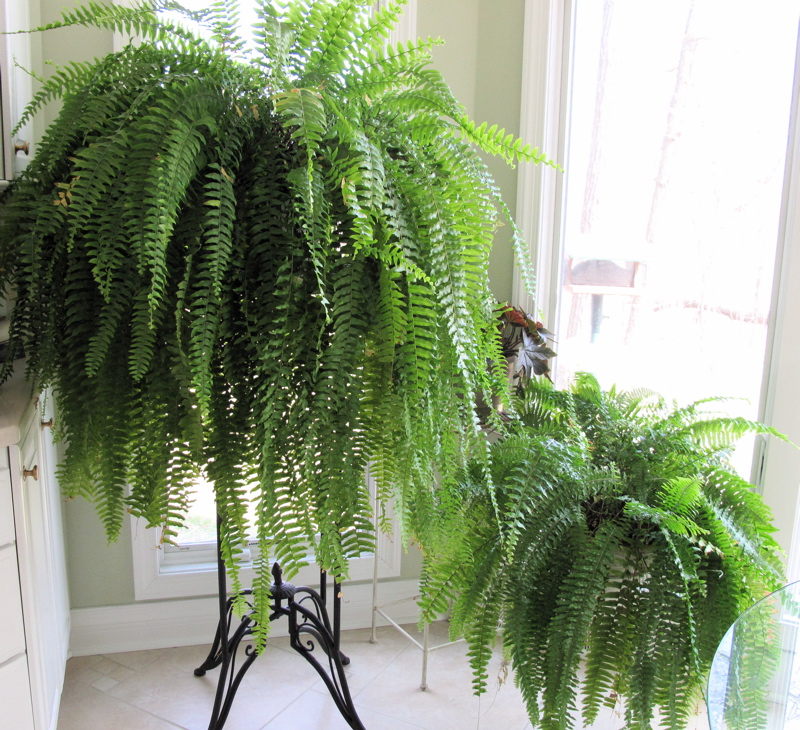 Shalom In The Wilderness: Favorite Houseplants, continued on