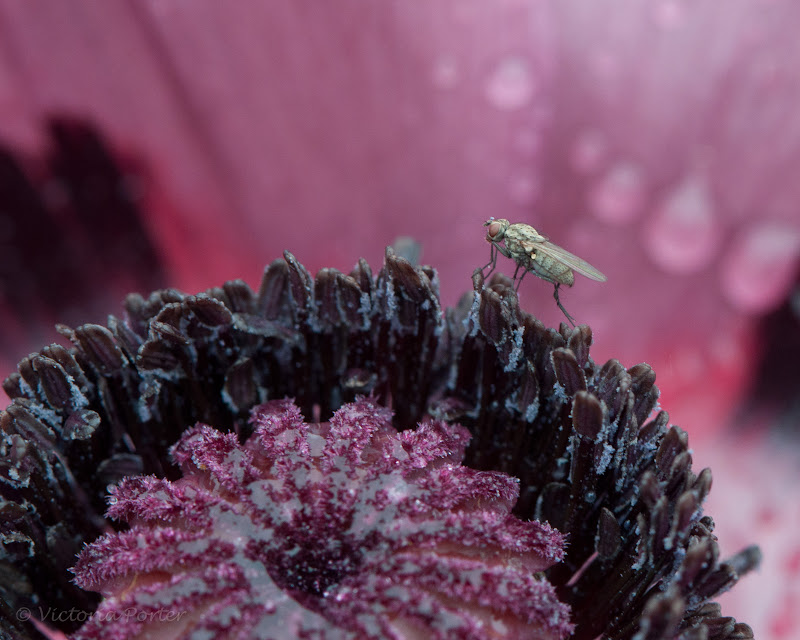 insect on poppy flower