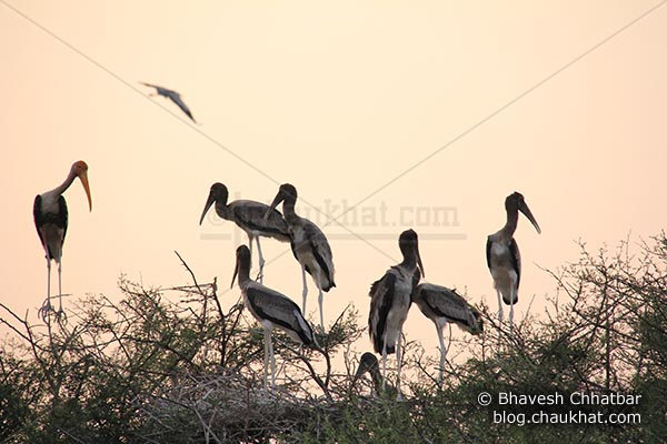 Standing painted storks in the evening