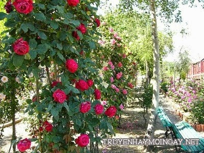 Bộ Hình Ảnh Những Vườn Hoa Hồng Đẹp Nhất