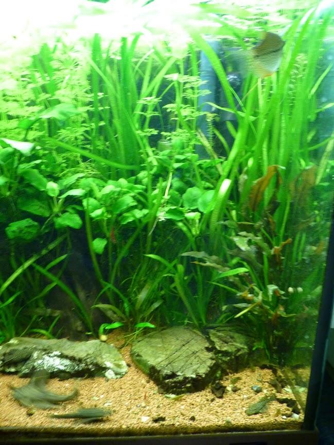 Ma petit histoire Aquariophile de 2009 à aujourd'hui  P1060225