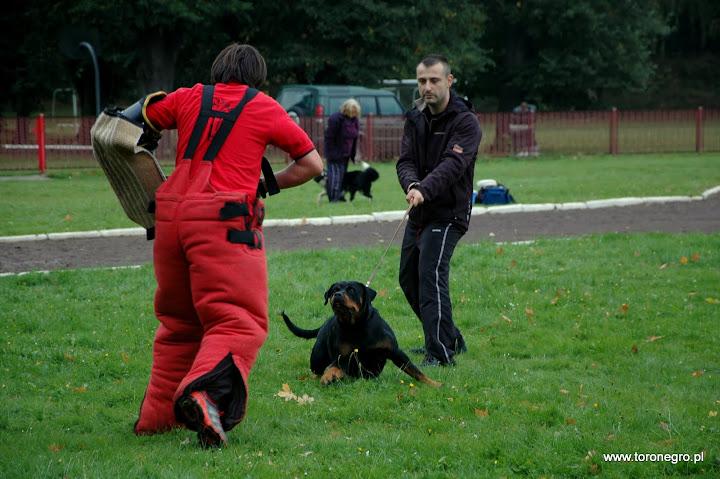 ładna suka rottweiler będzie atakować