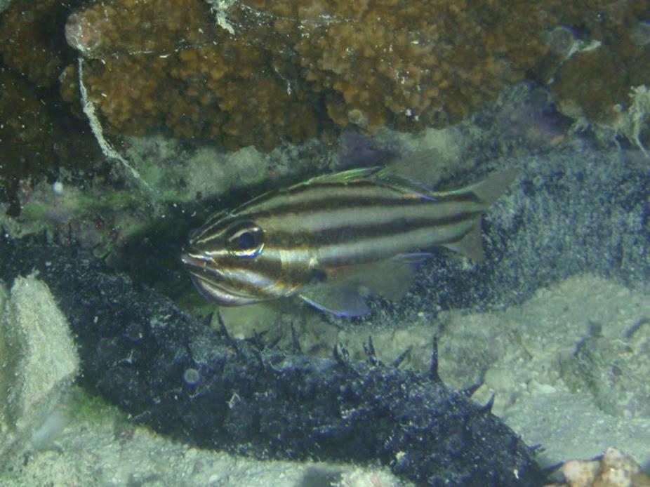 Apogon novemfasciatus (Seven-stripe Cardinalfish) holding fry, Aitutaki.