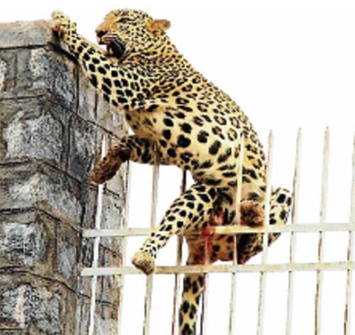 Malang harimau bintang