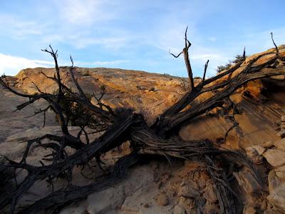 Dead juniper