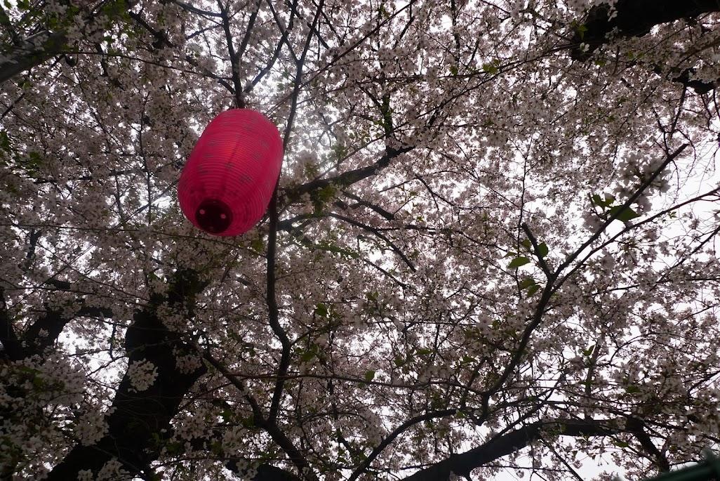 sakura higashi nakano