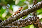 Lizard in a tree