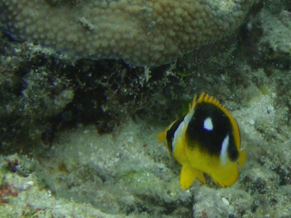 Chaetodon quadrimaculatus (Juv. Fourspot Butterflyfish), Aitutaki.
