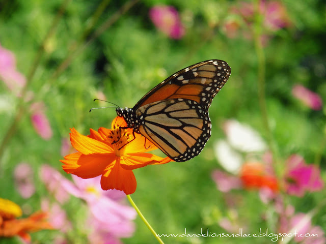 monarch butterfly on orange cosmos