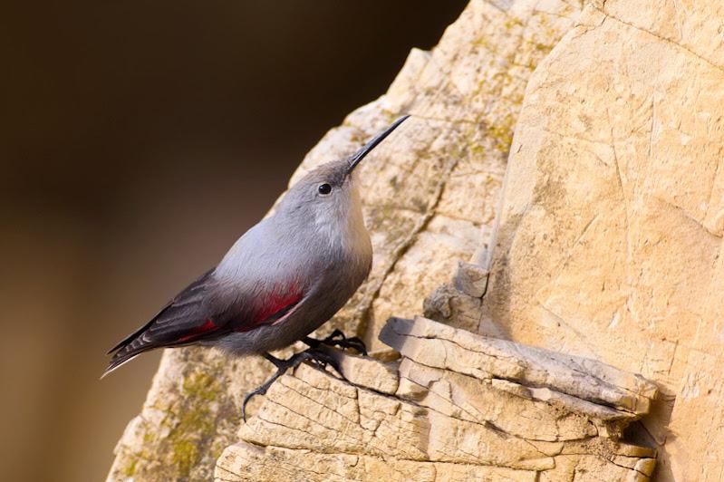 Πουλί που συναντάται σε βραχώδη βουνά