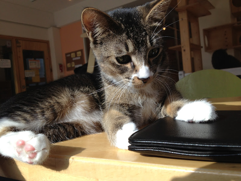 A cat at Tom's Cat Cafe fascinated by my Kindle