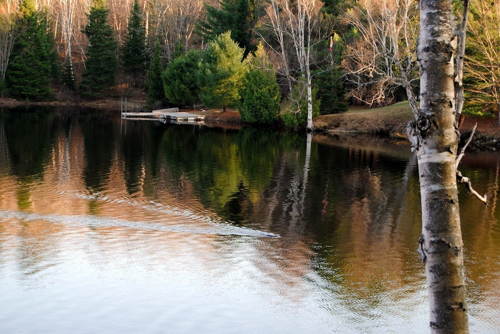 A beaver swimming in the Pickerel River