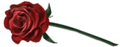Una rosa perfetta