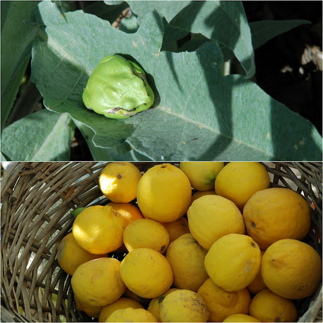 lemons and frog on cardoon