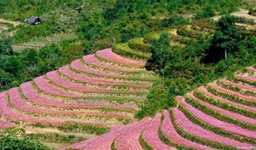 canh dong hoa tam giac mach 001 Mùa hoa tam giác mạch lại về trên núi đá hà Giang