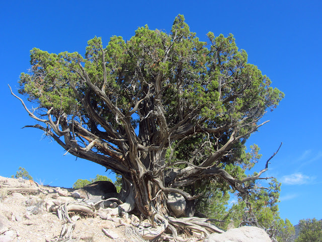 juniper tree with a lot of texture