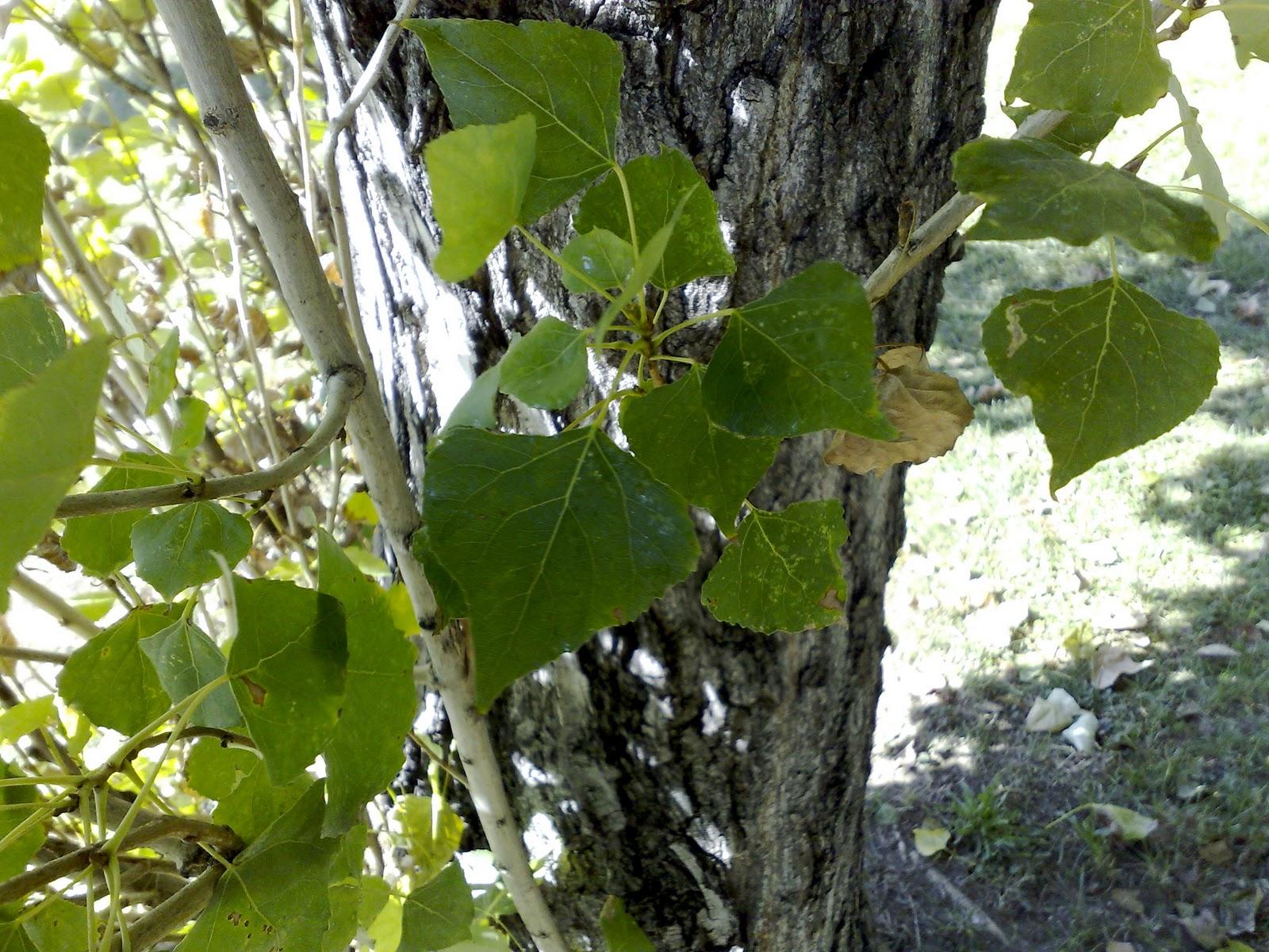 Rboles con alma chopo pollancre populus nigra for Arboles de hoja perenne informacion