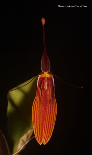Restrepia antennifera IMG_1025b%2520%2528Medium%2529