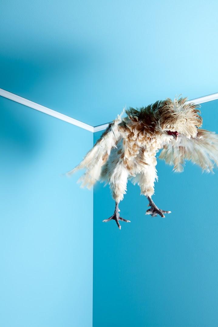 *MITCH PAYNE:現代家禽攝影系列 7