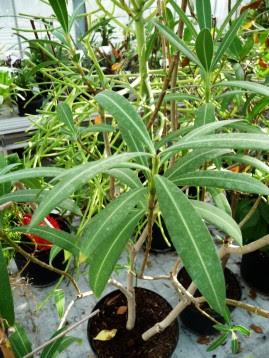 Oleander Pospolty miniaturka