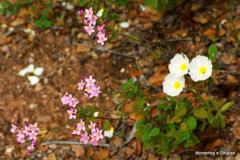 Flores silvestres, Serra da Arrábida