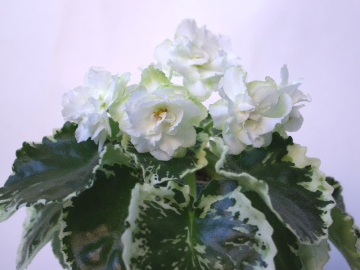 your favorite white african violets?