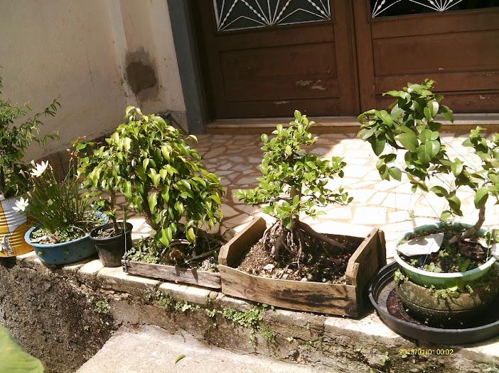 Ficus Microcarpa var. Indica... - Página 2 IMAG0038