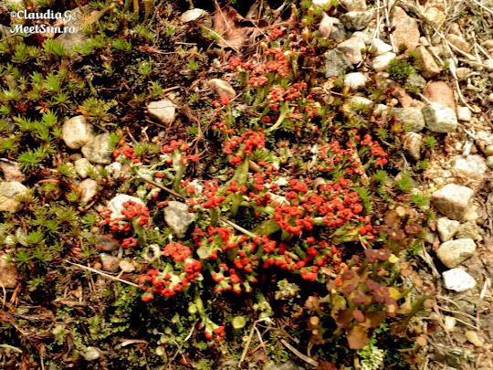 Cladonia Macilenta