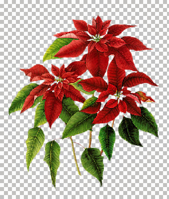 2004-Poinsettia_03_mm.jpg