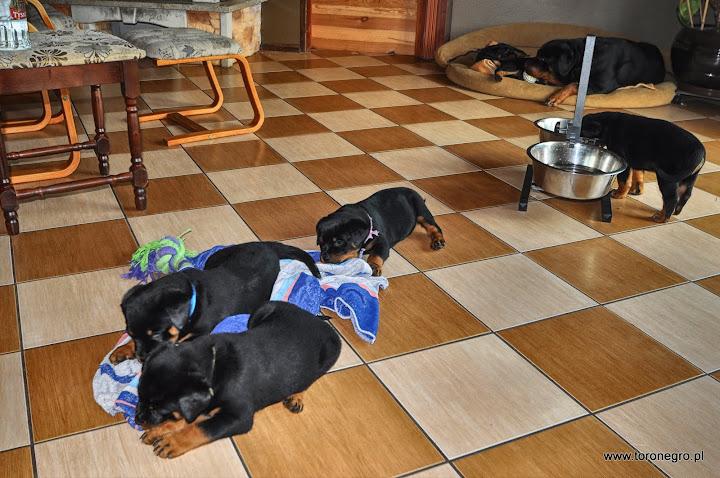 Śpiące szczeniaki rottweilera zabawne
