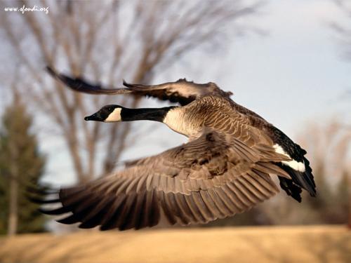 Anatra in volo