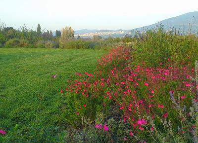 Il nostro giardino delle salvie ornamentali e officinali for Salvia da colorare