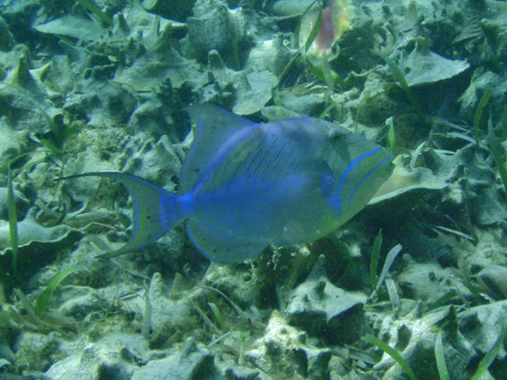 Balistes vetula (Queen Triggerfish), Ambergris Caye, Belize.
