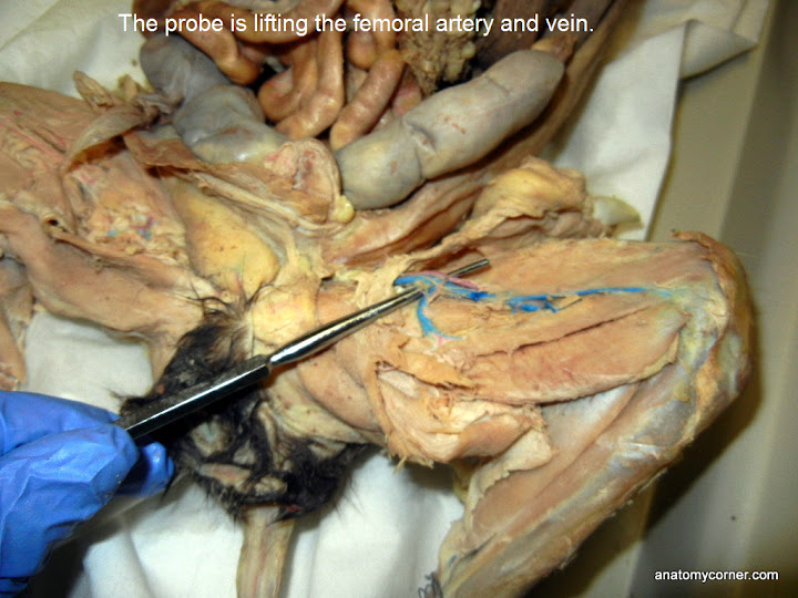 cat virtual dissection (vessels) | anatomy corner, Muscles